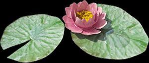 Ilustración de un loto florecido