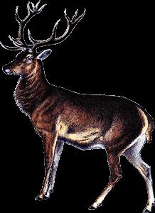 Ilustración de un ciervo