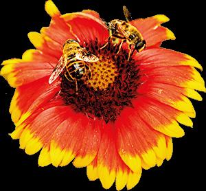 Ilustración de dos abejas y una flor