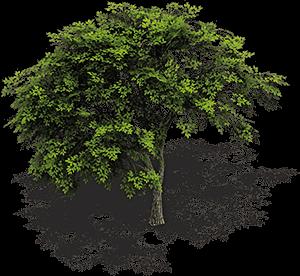 Ilustración de un frondoso árbol con su sombra