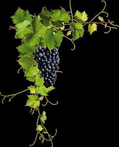 Ilustración de una vid con racimo de uvas