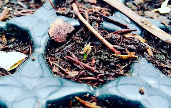 Semilla ecológica de zanahoria germinando en sustrato de capote de bosque, lombrihumus y cáscara de huevo