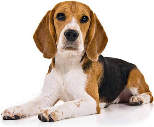 Foto de un perro raza Beagle